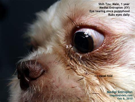 shih tzu cherry eye 031028singapore shar pei entropion cherry eye corneal ulcer water bags silkie shih