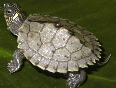 louisiana map turtle adw graptemys pseudogeographica information