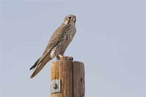prairie facts prairie falcon facts pictures habitat predators pictures