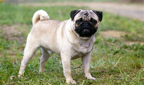 average price of a pug puppy low maintenance dogs top 15 low maintenance dogs