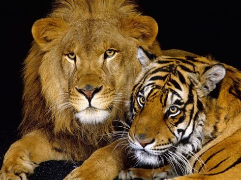imagenes de leones gratis fotos de leones