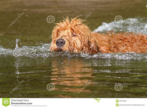 goldendoodle puppy panting goldendoodle stock photo cartoondealer 33518154