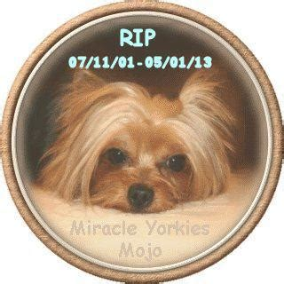 yorkie breeders sc yorkies terriers yorkie breeder nc carolina terrier