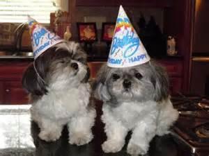 happy birthday shih tzu happy shih tzu birthday animals fur babies