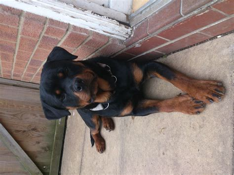 rottweiler needs 12 month rottweiler needs new home asap south east pets4homes
