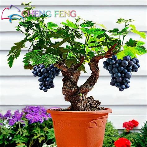 Anggur Bonsai Anggur Hitam 1 10 bag true grape seeds tasty edible fruit seed in bonsai potted grapes tree easy grow