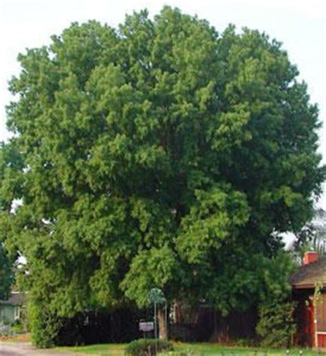 maple tree near house silver maple tree fast growing should never plant near your home plants trees