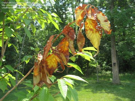 cherry tree pests garden pests and diseases cherry tree leaf problem what is it 1 by pentasbutterfly