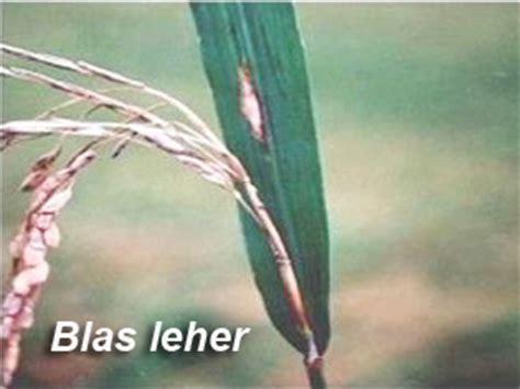 teknis pengendalian penyakit blas tanaman padi penyakit