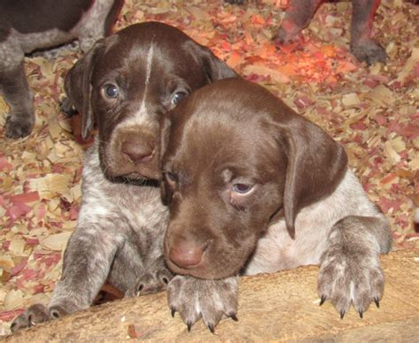 german shorthair puppies for sale german shorthaired pointer puppies for sale 02 2017 creek preserve