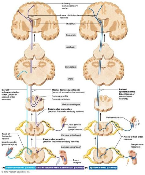 spinal cord pain after c section kin450 neurophysiology multiple sclerosis v