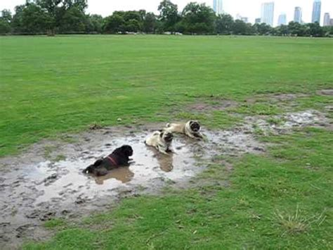 pug test adorable pugs decides to test park s attraction the mud pit owner s