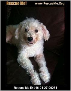 havanese rescue houston 1000 images about dogs need to be adopted havanese cotons maltese poodles