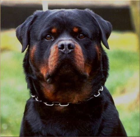 rottweiler germany german rottwieler balou vom silberblick chion german rottweiler