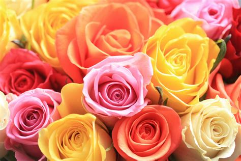different colors of roses flower color meaning symbolization of flower colors