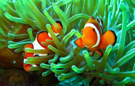 anemone eat clownfish clownfish the fish doctor