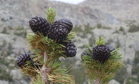 white pine cone harvesting whitebark pine cones to save a forest cool