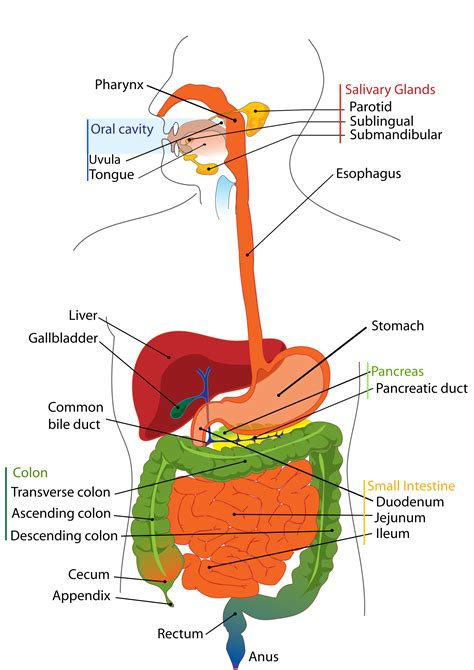 digestive system diagram human digestive system and digestion of carbohydrates