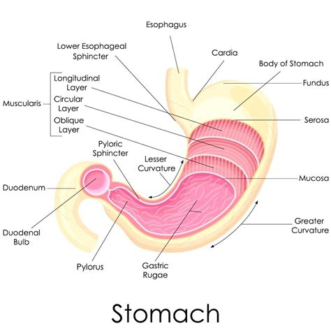 Digestion In The Diagram