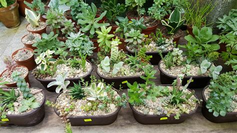 small potted cactus plants stock photo image 68600366 pots with small green cacti succulent plants stock image