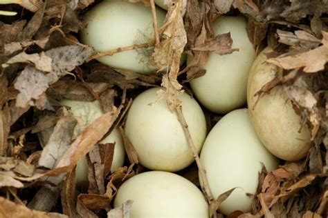 are chickens color blind moving duck eggs thriftyfun