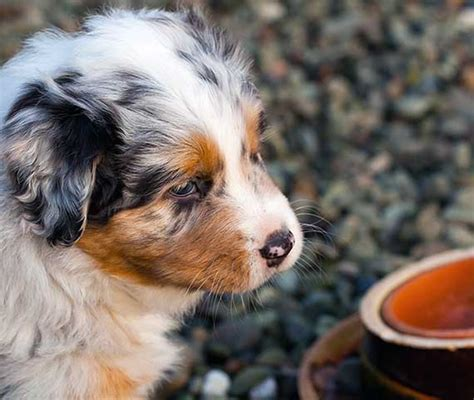 how much to feed australian shepherd puppy how to create a puppy feeding schedule