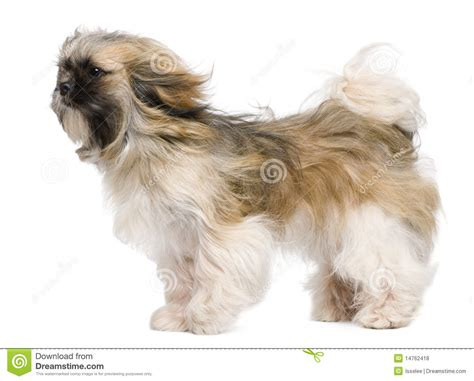 shih tzu 1 year shih tzu 1 year windswept and standing royalty free stock photos image 14762418