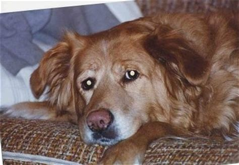 8 year golden retriever golden retriever breed pictures 4