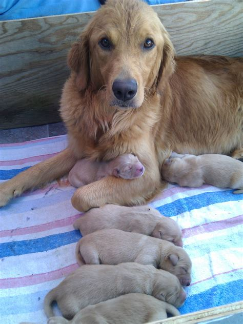 my golden retriever my golden retriever and 3 day puppies aww