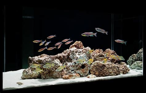 aquarium design group goldfish 1000 images about cichlids of tanganyika on pinterest