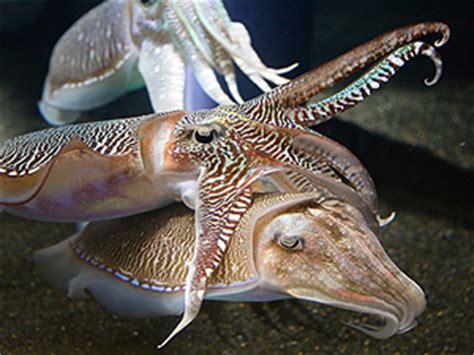 Cuttlefish or Sepias (Sepia officinalis)