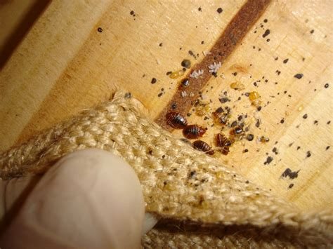are bed bugs visible how to control and eradicate bed bugs dead bed bug blog