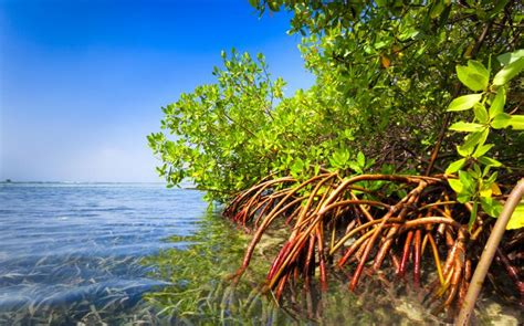 Soft Green Color by How Mangroves And Corals Unite Sierra Club
