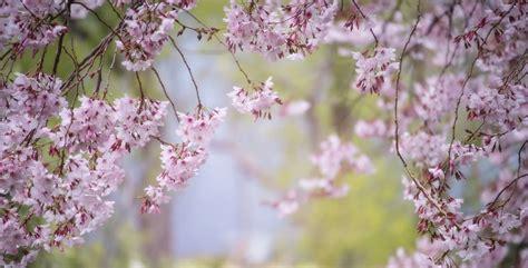 alberi da fiore come scegliere gli alberi da fiori pi 249 adatti al vostro