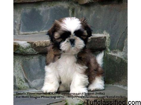 pomeranian puppies for sale in chennai show quality shihtzu puppies for sale in chennai pets animals in chennai