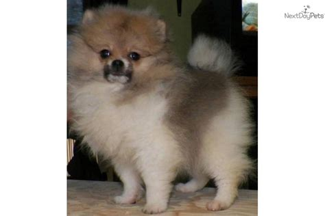 pomeranians for sale in syracuse ny pomeranian puppy for sale near syracuse new york e24a03ee ec61