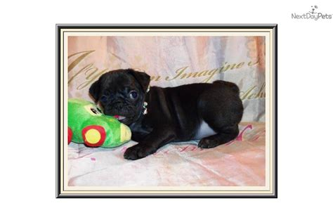 black pugs for sale near me home dogs for sale pug dogs for sale ckc pug puppies breeds picture