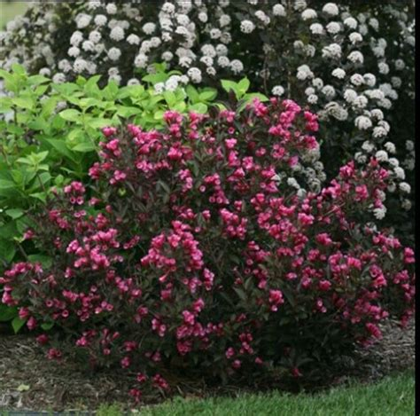flowering shrubs zone 6 1000 images about shrubs on gardens sun and