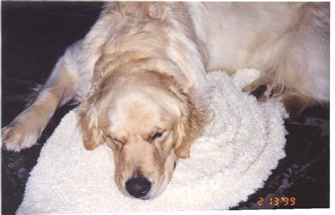 miniature golden retriever ontario golden retriever breeders kingston ontario dogs our friends photo