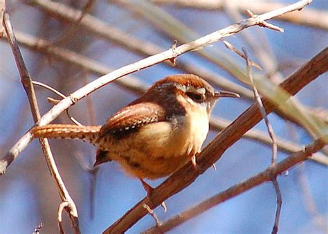 south carolina state bird carolina wren