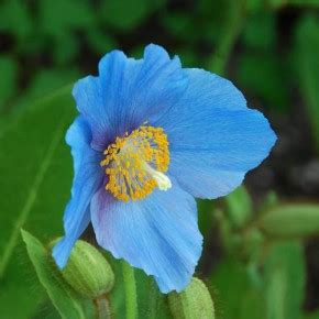 linguaggio dei fiori papavero meconopsis papavero linguaggio dei fiori il