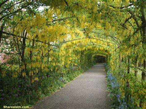 japan flower tunnel wisteria flower tunnel japan sharesloth