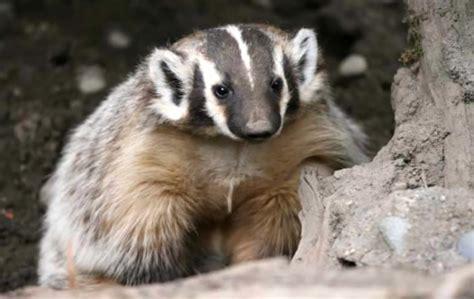 badger northwest wildlife preservation society
