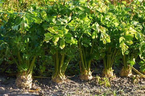 coltivazione sedano 4 consigli per coltivare il sedano rapa pollicegreen