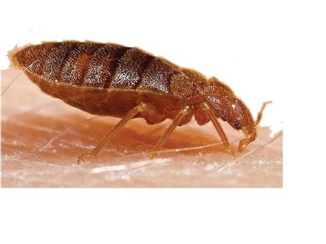 all about bed bugs all you needed to know about bed bugs origin exterminators