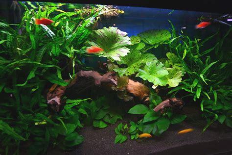 fish freshwater aquarium manfaat tanaman air  akuarium