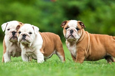 Do Bulldogs Shed A Lot by Top 10 Breeds To Join Your Family Wonderslist