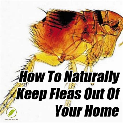how to get fleas out of your house how to naturally keep fleas out of your home