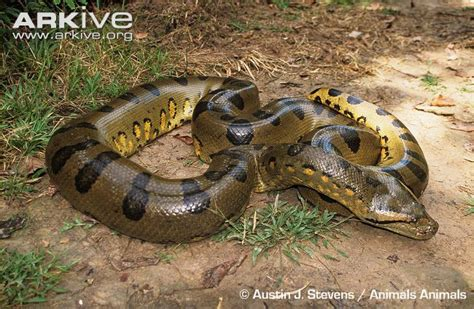 Korek King Yellow Ular Plus Asbak green anaconda photo eunectes murinus g59043 arkive
