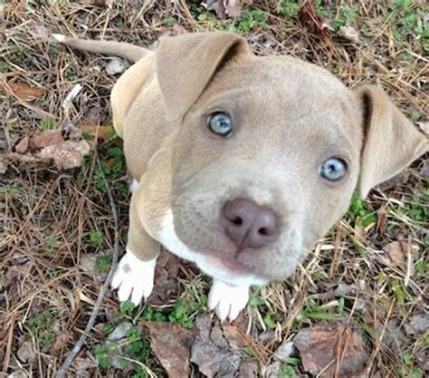 american pit bull terrier dog breed pictures 5